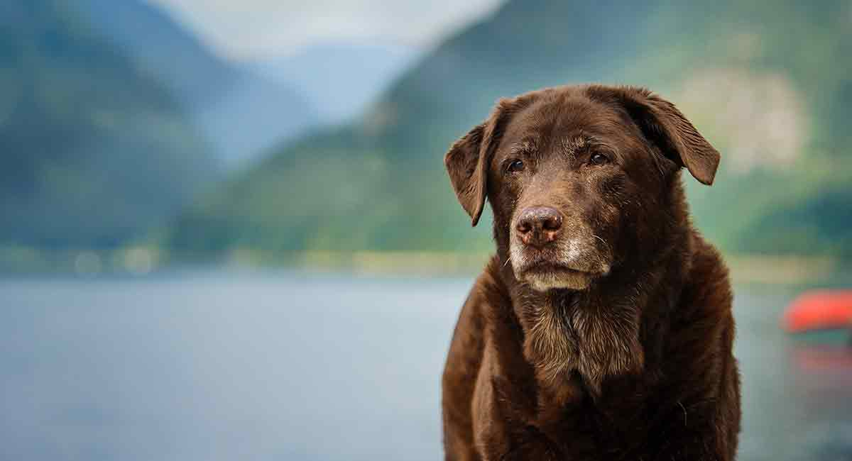 Old Labrador How To Care For Your Lab