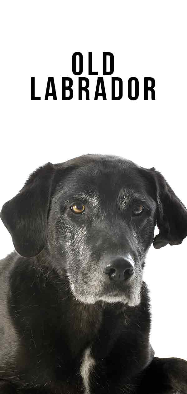 Old Labrador
