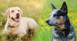 Australian Cattle Dog Lab Mix – Find Out More About This Unusual Hybrid