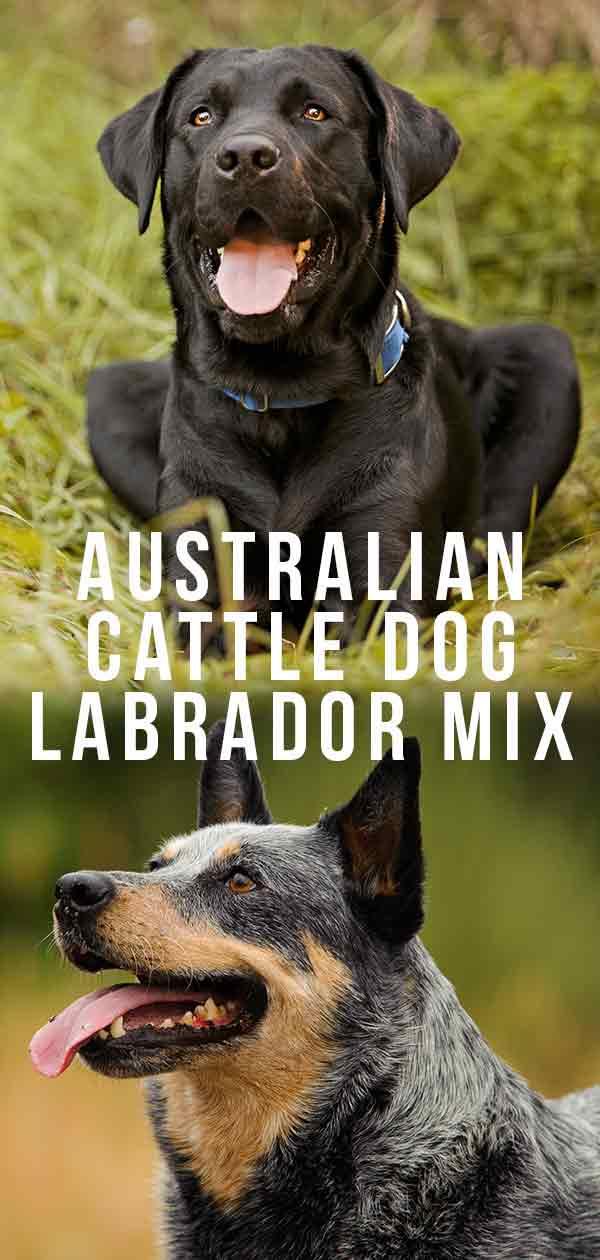 Australian Cattle Dog Lab Mix