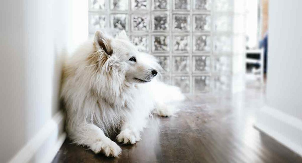 big white dog breeds