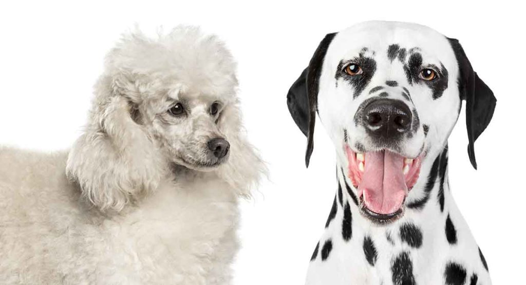 dalmadoodle (dalmatian poodle mix)