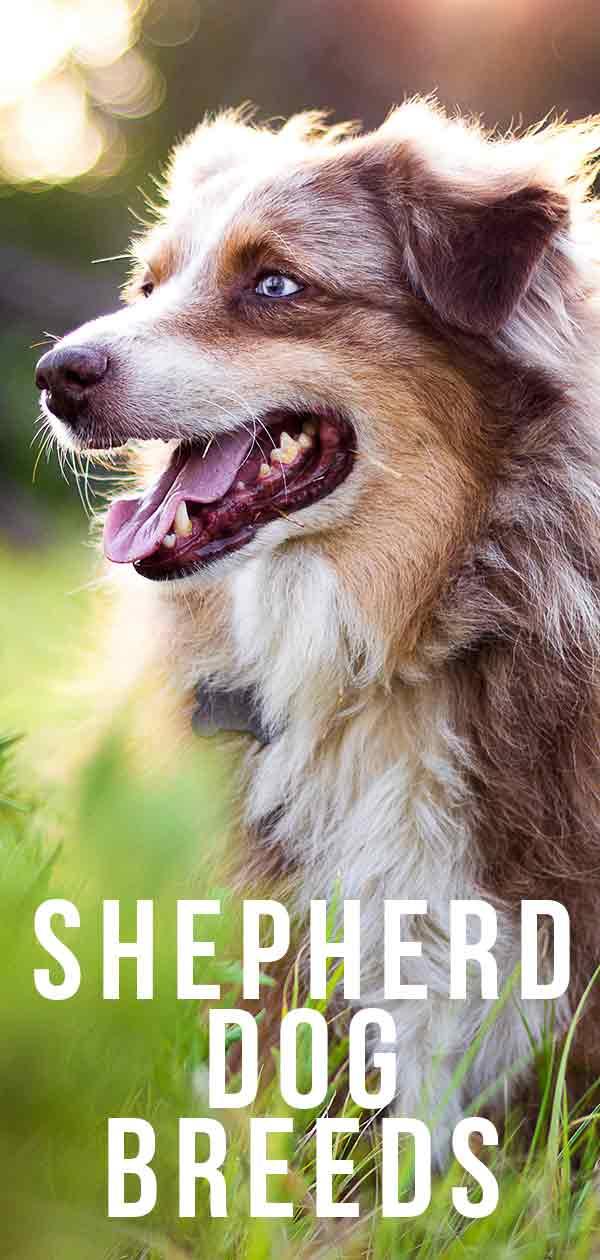 shepherd dog breeds