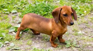 Teacup Dachshund – Everything You Need to Know About This Tiny Pup