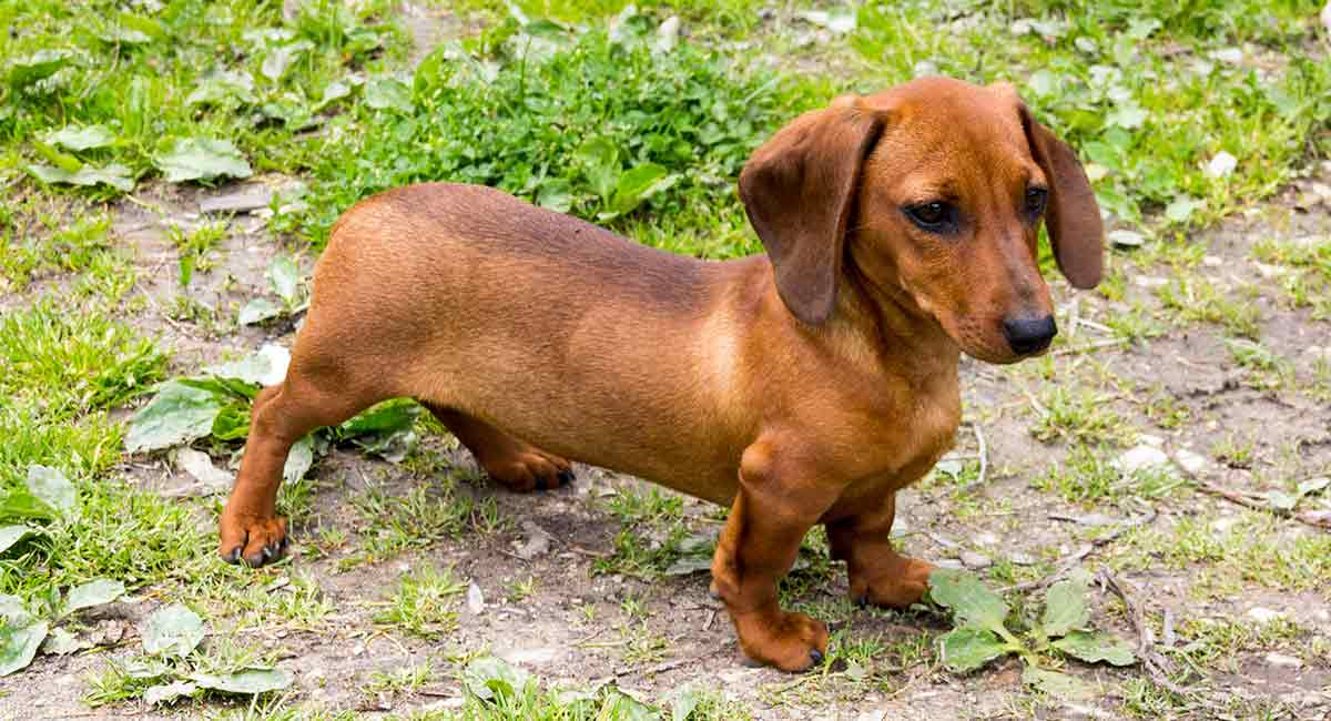 Teacup Dachshund Everything You Need