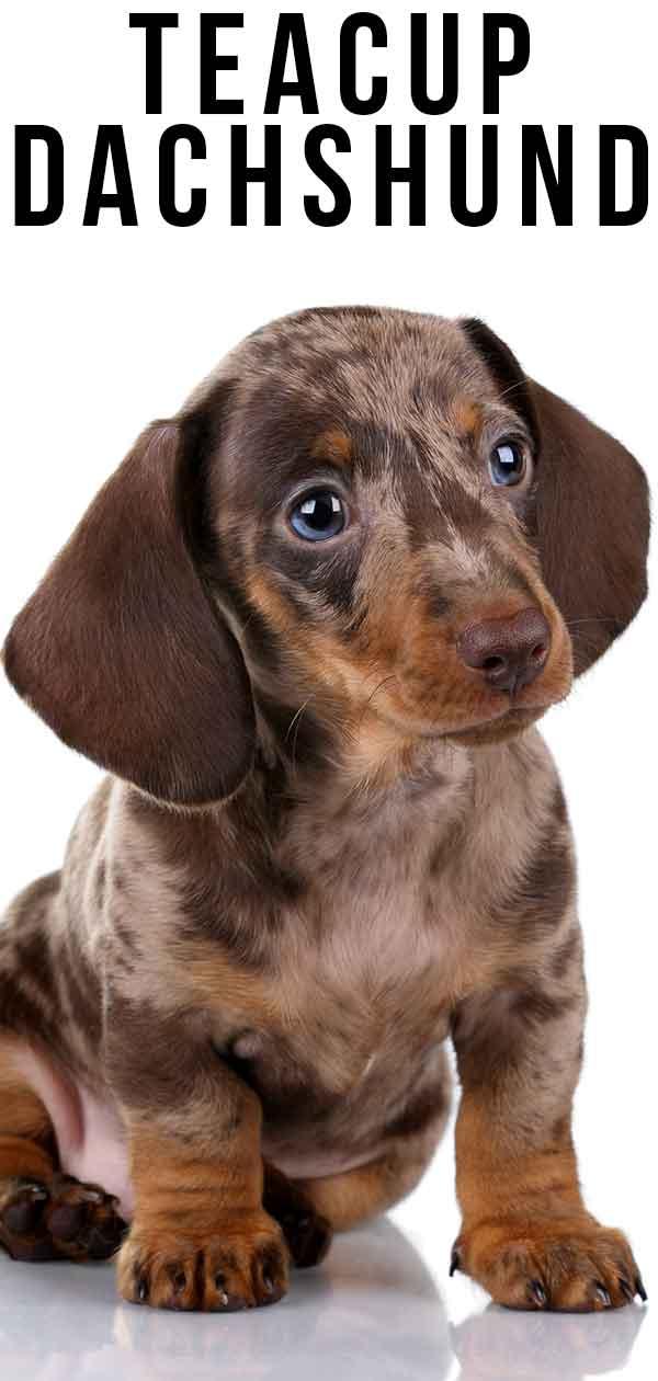teacup dachshund