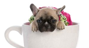 Teacup French Bulldog – Is This Tiny Dog for You?