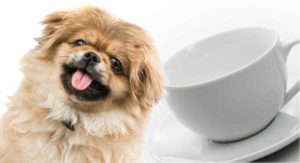 Teacup Pekingese – Would This Tiny Dog Fit Into Your Life?