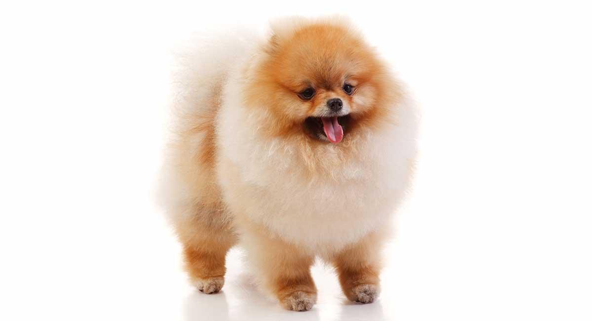 Teacup Pomeranian Ths Tiny Pup With A