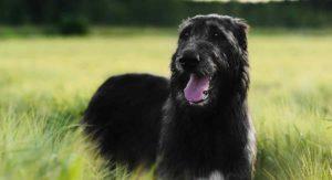 Black Irish Wolfhound – Everything You Need To Know