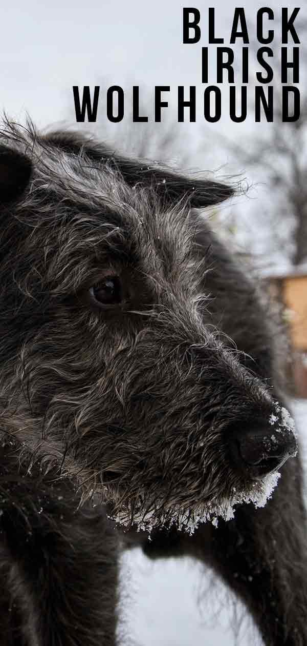 black irish wolfhound
