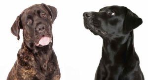 Cane Corso Lab Mix: Would This Big Hybrid Suit Your Home?