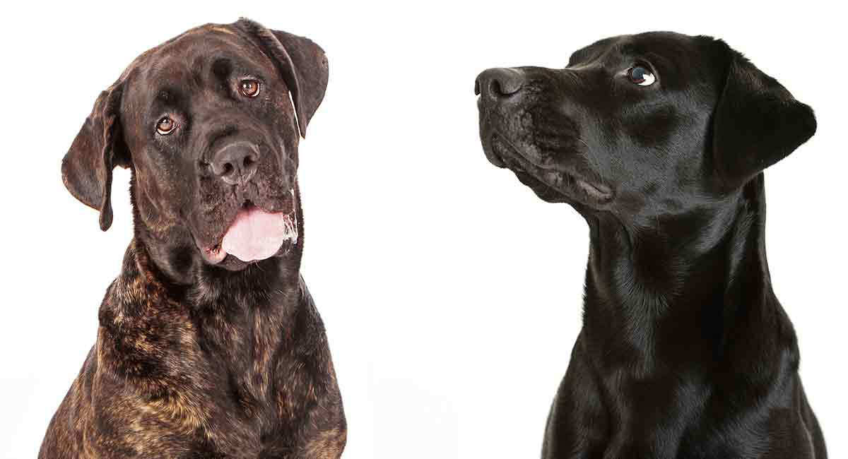 Cane Corso Lab Mix Would This Big Hybrid Suit Your Home