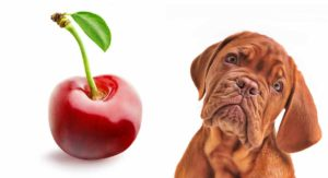 My Dog Ate A Cherry – What's The Right Thing To Do Next?