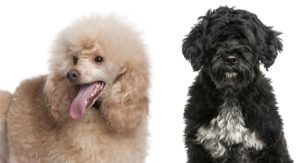 Portuguese Water Dog Poodle Mix: Did You Know About This Ancient Hybrid?
