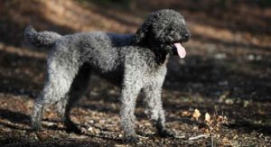 Silver Labradoodle – All About This Unique Coat Color