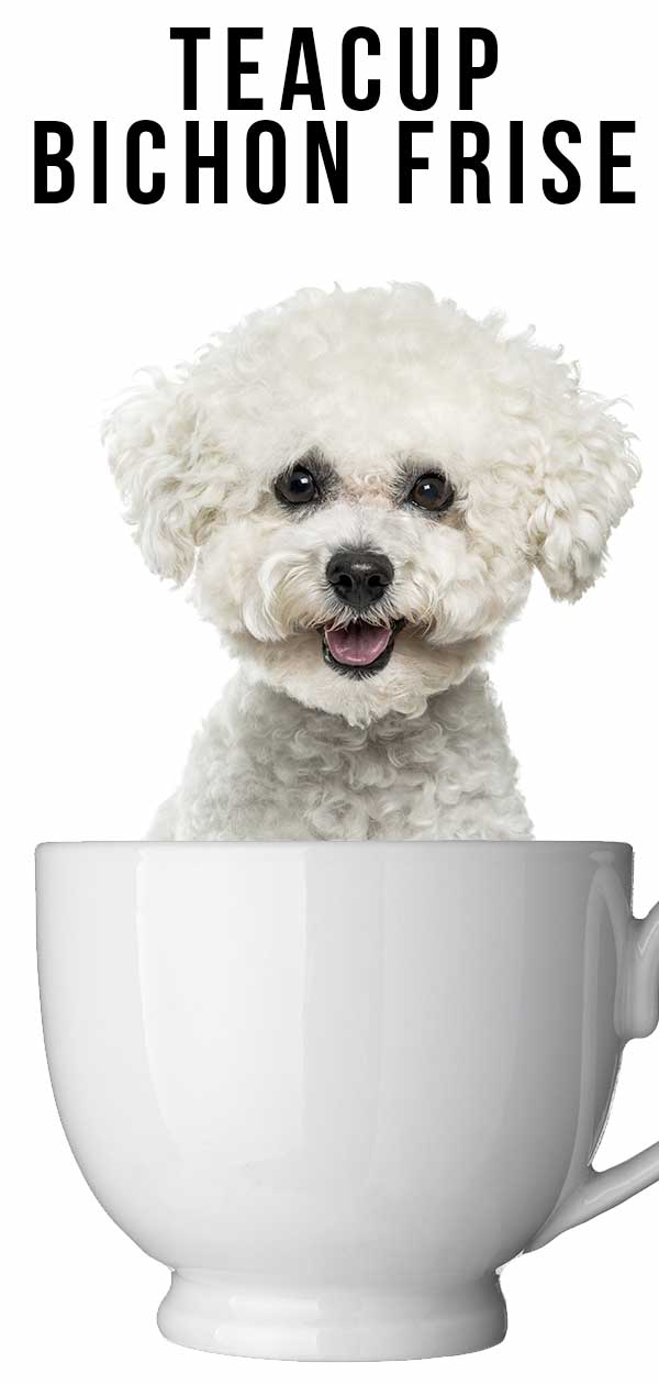 Teacup Bichon Frise Will A Tiny Version Of This Popular