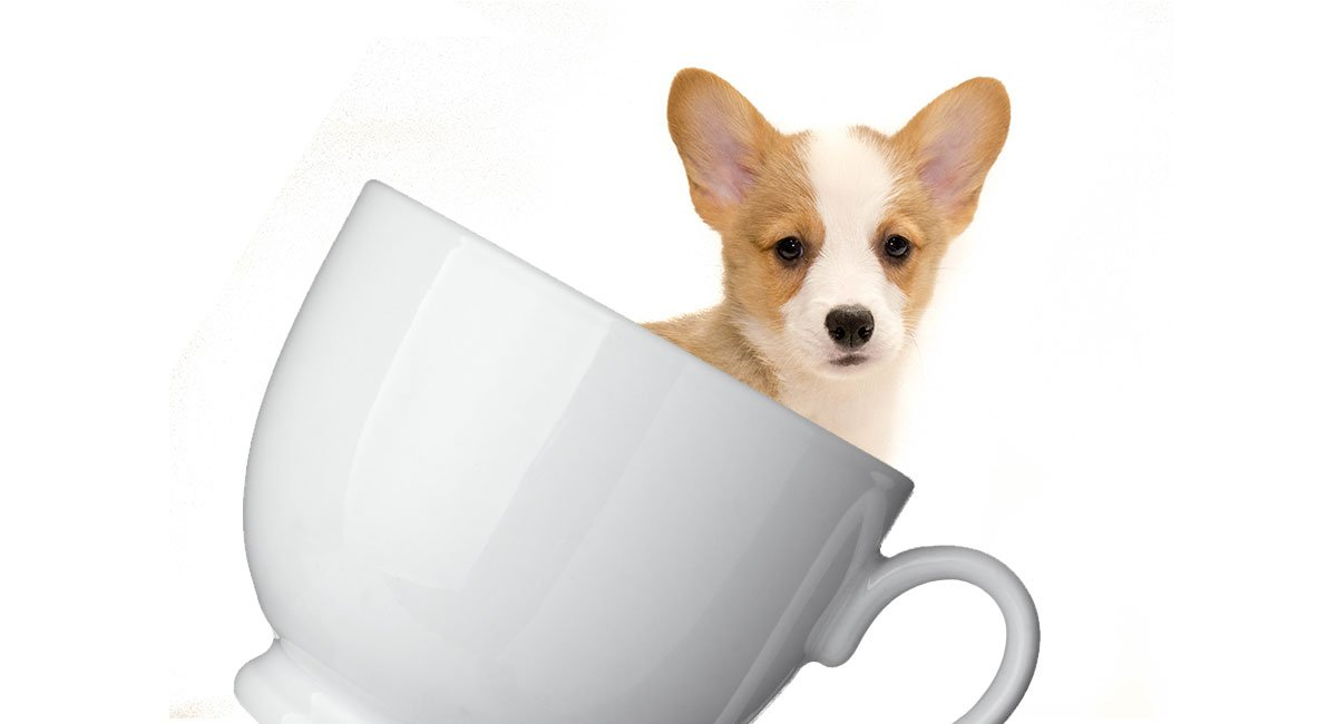 Teacup Corgi Everything You Need To Know About This Tiny Hybrid