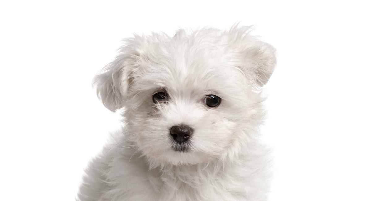 teacup maltese is this tiny dog the right addition to