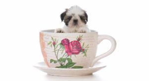 Teacup Shih Tzu – Do You Know About This Tiny Hybrid?