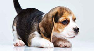 Understanding the Beagle Temperament