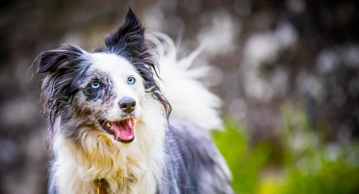 Blue Merle Border Collie Are They Healthy Happy Pets