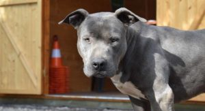 Blue Nose Pitbull – How Well Do You Know The Blue Nosed Pit?
