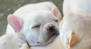 Fat Puppies – How Chubby Is Too Chubby? Here's The Skinny