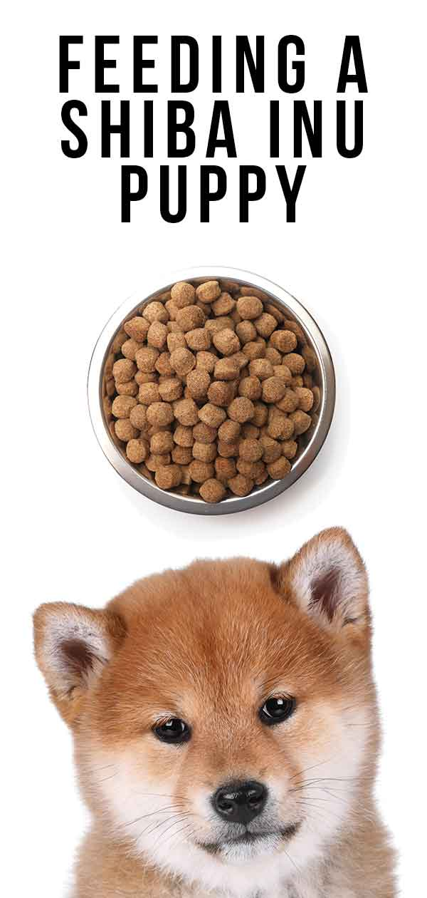 Feeding A Shiba Inu Puppy When To Feed