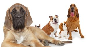 Mastiff Mixes – Let's Discover All Of The Shapes And Sizes