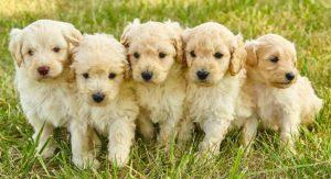Mini Goldendoodle – The Miniature Poodle Golden Retriever Mix