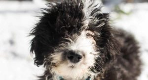 Sheepadoodle – The Old English Sheepdog Poodle Mix