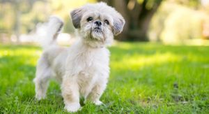 Shih Tzu Temperament – What To Expect From These Fluffball Pups