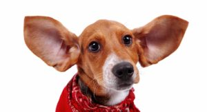 Beagle Ears – Do You Know the Best Way to Keep Them Healthy?