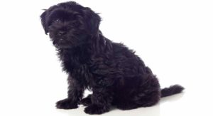 Black Pekingese – A Complete Guide To This Beautiful Puppy