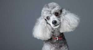 Poodle Ears – All About This Breed's Ears!