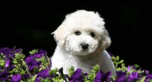 Bichon Poodle Mix – Curly Companion with a Rather Mixed Background