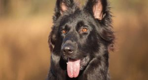 Black German Shepherd – Fascinating Facts About Your Favorite Dog