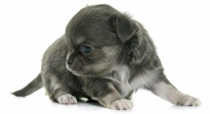 Blue Chihuahua – What This Unusual Color Is Really Telling You