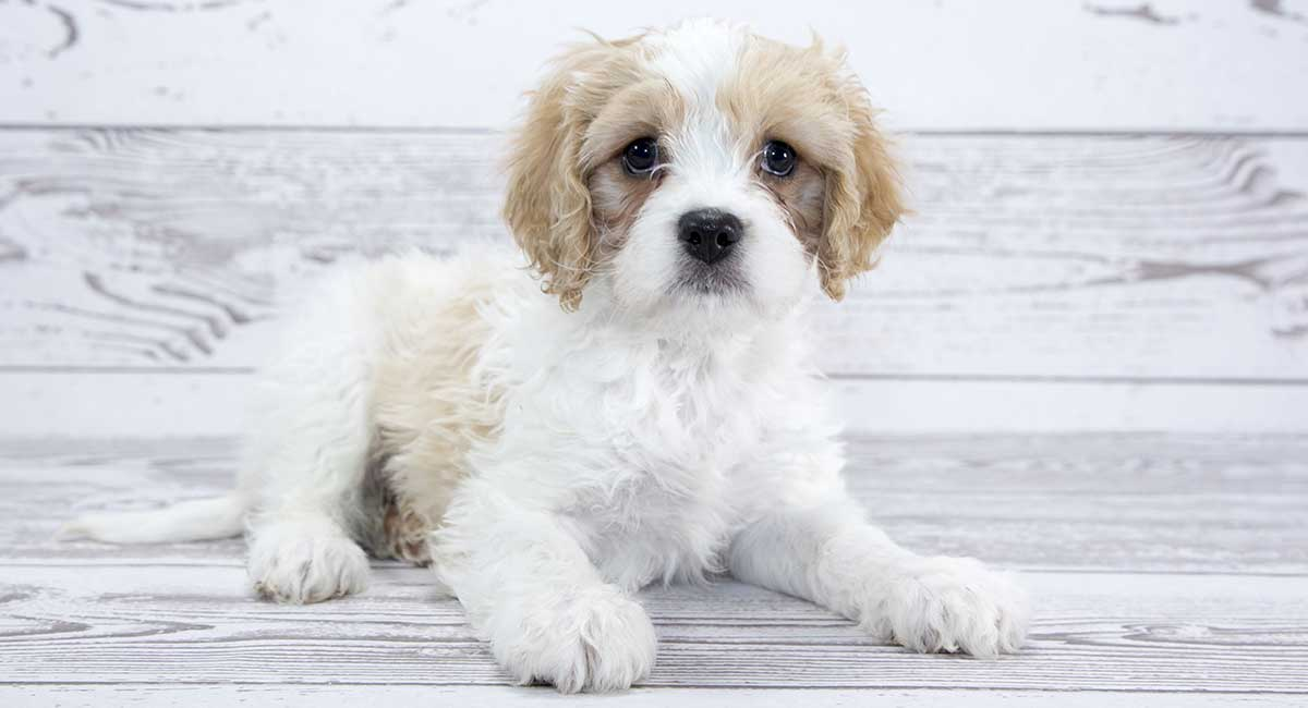 The Cavalier King Charles Bichon Frise Mix