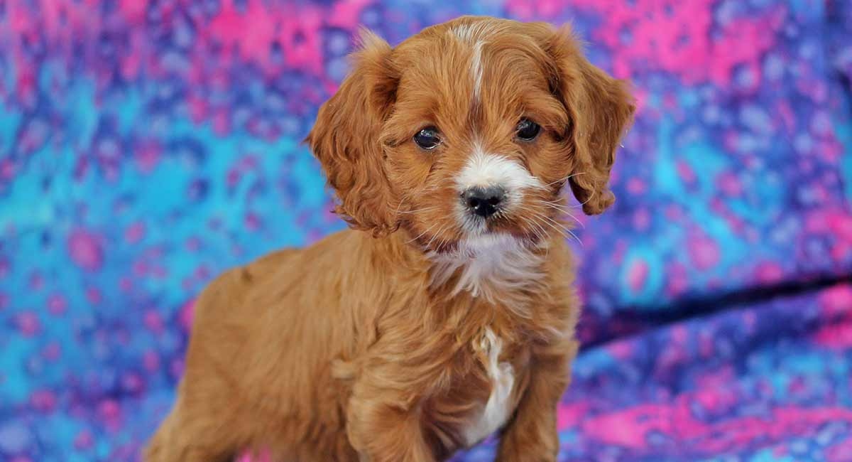 Cavalier King Charles Miniature Poodle Mix