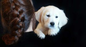 English Cream Golden Retriever – What Can Their Color Really Tell You?