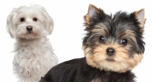 Maltese vs Yorkie – Which Tiny Pup Makes The Best Pet?