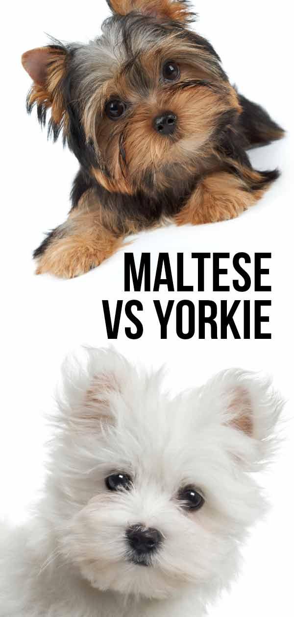 maltese vs yorkie