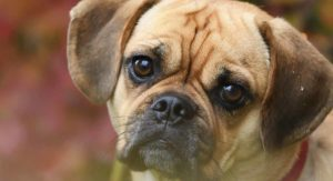 Puggle – Is The Beagle Pug Mix Your Perfect Pet Puppy?