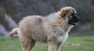 Russian Bear Dog – Are You Really Ready For A Caucasian Shepherd?