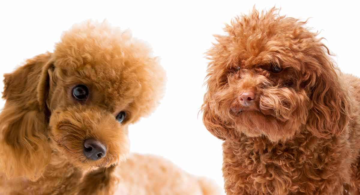 Toy Poodle Vs Miniature Poodle Can You Spot The Differences