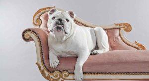 White English Bulldog Health, Happiness and Temperament