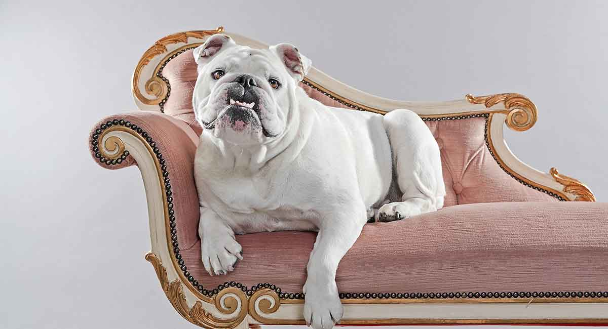 white english bulldog