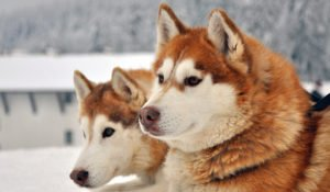 Alaskan Husky – Pros and Cons of an Unusual Sled Dog